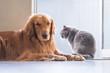 British cat and Golden Retriever