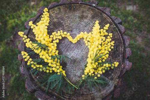 Fotografie, Obraz  Mimose a forma di cuore su un tronco di un albero