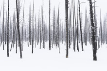 Lodgepole Pine Trees In Snow