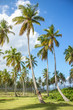 Palm forest. Coco palm trees with green leaves on sunny blue sky background