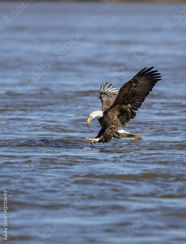 Garden Poster Eagle Adult Bald Eagle with feet forward, about to catch a fish in water. Fish is visible in water