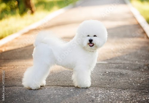 Vászonkép  Bichon frize on nature background