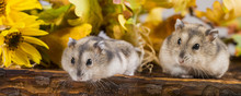 Little Pet Hamster - Phodopus ...