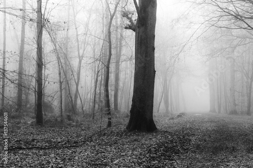 Papiers peints Forets English woodland on a foggy misty morning