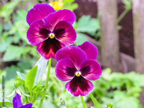 Papiers peints Pansies Viola tricolor red blue yellow Pansies on green flowerbed macro closeup