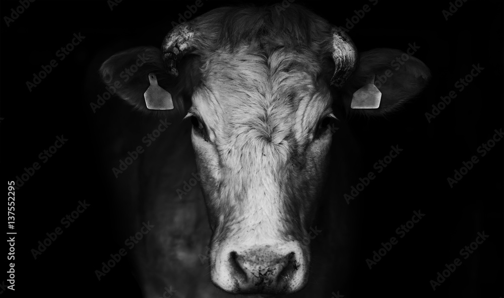 Fototapeta Sad farm cow close up portrait on black background.