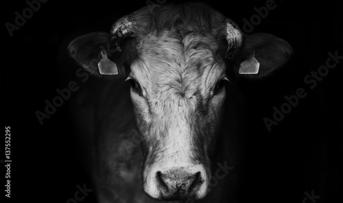 Fotobehang Koe Sad farm cow close up portrait on black background.