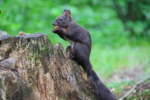 Black Squirrel With Nut In The City Park