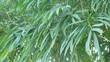 Bamboo tree background
