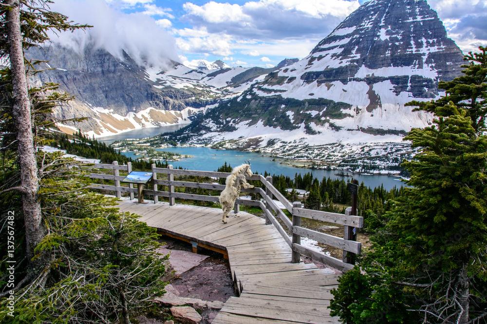 Fototapety, obrazy: Mountain Goats and Hidden lake, Glacier National Park, Montana USA