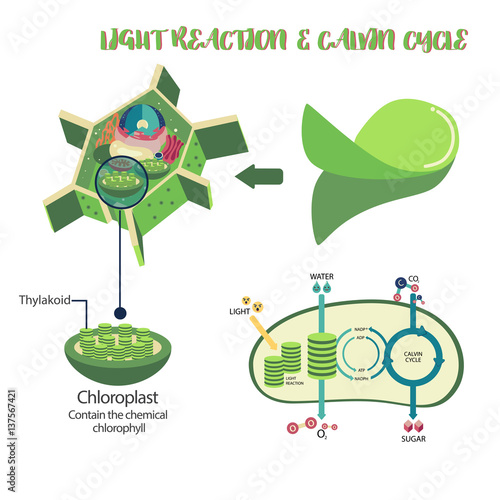 Magnificent Photosynthesis Plant Cell Diagram Illustration Vector Design Wiring 101 Orsalhahutechinfo