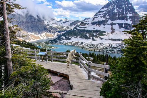 Mountain Goats and Hidden lake, Glacier National Park, Montana USA