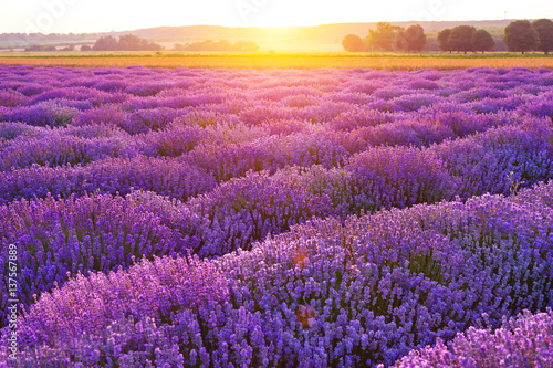 Fototapeta Bright lavender field at sunset. Bright abstract background ideal for any design. Basic background for design obraz na płótnie
