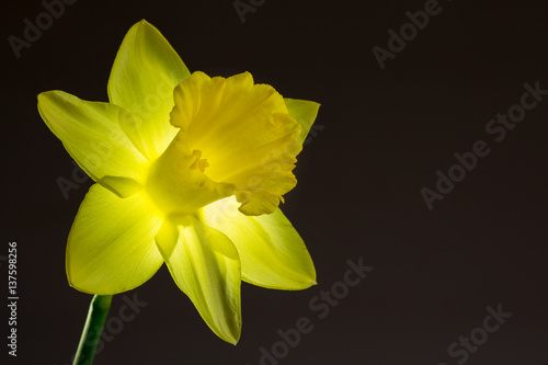 Deurstickers Narcis Close up image of yellow daffodil with back lighting