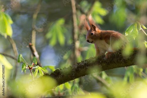 Fotobehang Eekhoorn Eichhörnchen in Baum