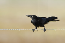 Great-tailed Grackle (Quiscalu...