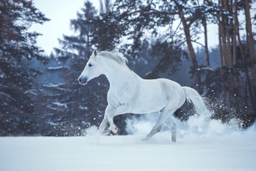 White horse runs on snow on dark forest background