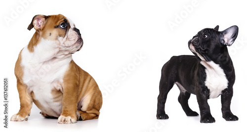 Deurstickers Franse bulldog Puppy French and English bulldog