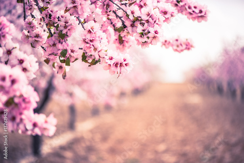 Spring blossom orchard. Abstract blurred background.