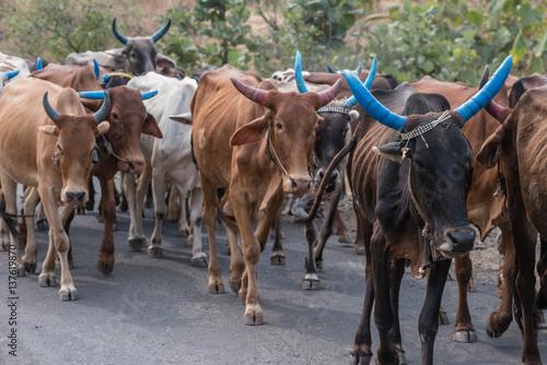 Staande foto Texas Mucche blu