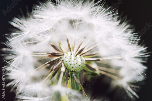 Canvas Prints Dandelions and water Macro image of dandelion, small depth of field.