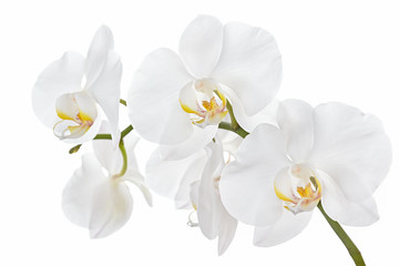 Fototapeta na wymiar The branch of orchids on a white background