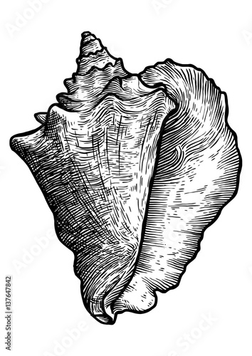 Leinwand Poster Queen conch illustration, drawing, engraving, ink, realistic