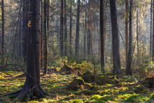 Natural Coniferous Stand Of Landscape Reserve