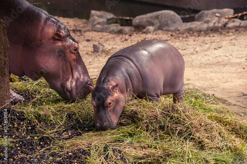 Photo Stands Kangaroo Baby hippo and mom eating food and grass.