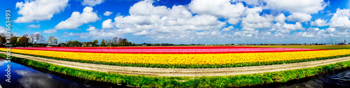 Magnificent field of tulips in Holland. Lisse.