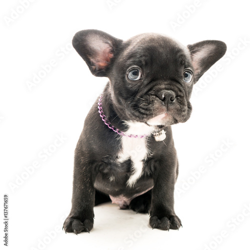 Black Brindle French Bulldog Puppy On White Background