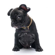 Black Brindle French Bulldog Puppy On White Background