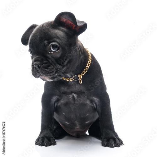 Black Brindle French Bulldog Puppy On White Background Kaufen Sie
