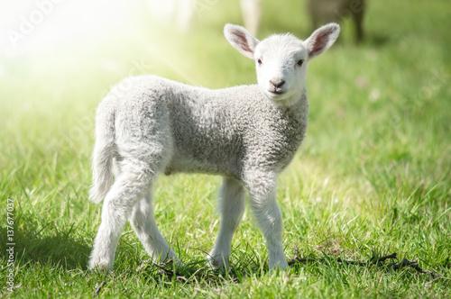 Foto Osterzeit - niedliches Lamm auf einer lichtdurchfluteten Frühlingswiese