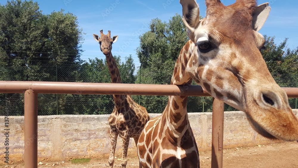 Fototapeta giraffe nello zoo