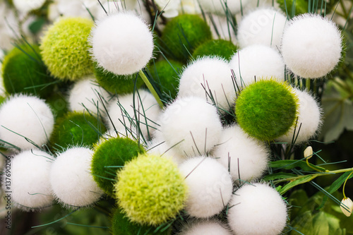Fotografie, Obraz  Beautiful fluffy, gracefully, lots of decorative round plant.