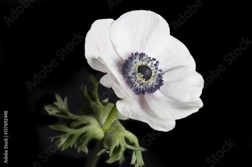 Slika na platnu Gartenanemone (Anemone Coronaria) auf schwarzem Hintergrund