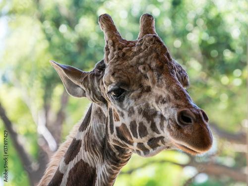 Giraffe Head Portrait Poster