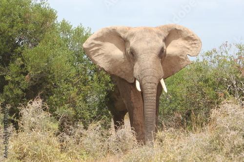 Poster Olifant Huge elephant is approaching in South Africa