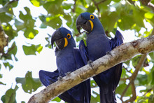 Pair Of Hyacinth Macaws Perchi...
