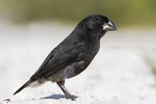 Medium Ground Finch (Geospiza Fortis) On Sandy Beach, Tortuga Bay, Santa Cruz, Galapagos Islands