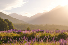 Landscape View Of Mountain Range With Lupine Flowers At Sunset