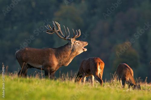 Poster Cerf red deer, cervus elaphus, Czech republic