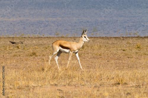 Staande foto Afrika antelope from South Africa, Pilanesberg National Park. Africa