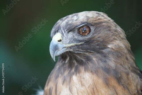 Head Study of a Hawk Raptor Poster