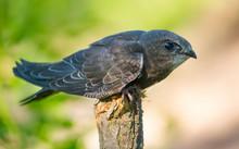 Common Swift (Apus Apus) Sitti...