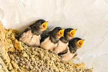 Swallows, Babies In The Nest W...