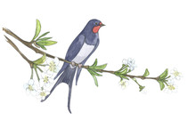 Swallow On Branch. Watercolor Illustrations