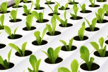Cultivation Hydroponics Vegeta...