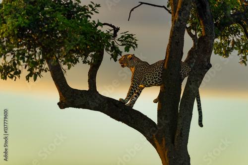 Poster Leopard Leopard female on a tree before sunrise in Masai Mara, Kenya
